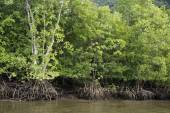 Mangrove Forests  in  Langkawi Malaysia. — Stock Photo