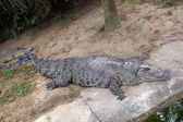 The enormous crocodile is sleeping near the water. — Stock Photo