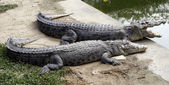 Two crocodile, a married couple on vacation — Stock Photo