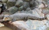 Nile crocodile lying on the rocks, basking in the sun. — Stock Photo