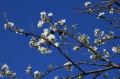 Blooming apple tree branch against the blue sky. — Stock Photo