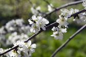 Blooming apple tree branch on a background of the rural landscape. — Stock Photo