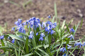 Beautiful flowers bluebell or Scylla grow in the meadow — Stock Photo