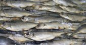 Dried river fish. — Stock Photo