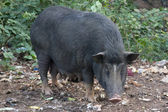Black pig digging and looking for food in the ground. India, Goa — Stock Photo