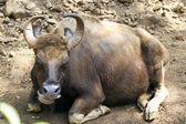 Brown cow lies on the ground. India, Goa. — Foto Stock