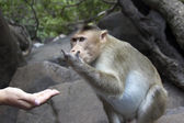 Portrait of a young Macaque taking on food with his hands. India Goa — Stock Photo