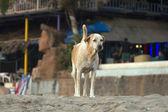 Dog on the beach of Goa, India. — Stock Photo