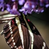 Zebra Heliconian Heliconius Charithonia — Stock Photo