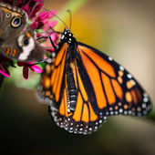 Monarca danaus plexippus — Foto Stock