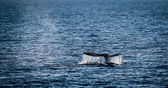 Gray Whale Tail — Stock Photo