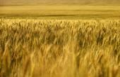 Pšeničné pole. úrody pšenice. — Stock fotografie