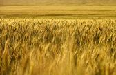 Buğday alan. buğday kırpma. — Stok fotoğraf