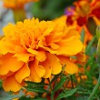 Orange Tagetes flowers — Stock Photo #70388703