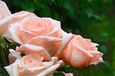 Pink roses with water drops — Stock Photo