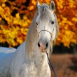 Portrait of beautiful gray horse in autumn forest — Stock Photo #60658287