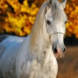 Portrait of beautiful gray horse in autumn forest — Stock Photo #60658327