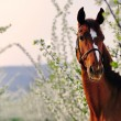 Portrait of sorrel horse in blossoming spring garden on sunrise — Stock Photo #60659495