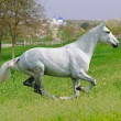 Galloping white horse in spring field — Stock Photo #60659565