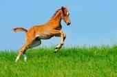 Galloping cute sorrel foal in summer field — Foto de Stock