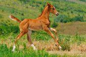 Galloping cute sorrel foal in summer field — Stock Photo