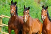 Bay horses in paddock — Foto de Stock