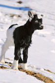 Young black white goatling playing outdoor — Stock Photo