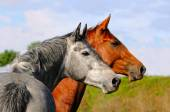 Two horses in autumn field — Stock Photo