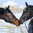 Two young horses playing on the snow field — Stock Photo #60660285