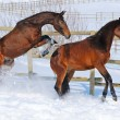 Two young horses playing on the snow field — Stock Photo #60660399