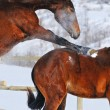 Two young horses playing on the snow field — Stock Photo #60660409