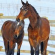 Two young horses playing on the snow field — Stock Photo #60660541