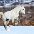 Dapple gray horse galloping in snow field — Stock Photo #60660887