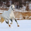 Dapple gray horse galloping in snow field — Stock Photo #60660943
