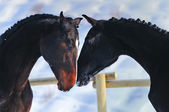 Portrait of two young horses in winter — Foto Stock