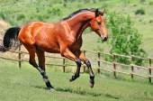 Bay horse running in the field — Stockfoto