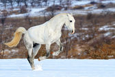 Dapple gray horse galloping in snow field — Foto Stock