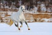 Dapple gray horse galloping in snow field — Stockfoto