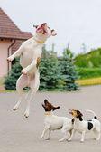 Three dogs playing — Stock Photo