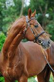 Portrait of chestnut sport stallion — Zdjęcie stockowe