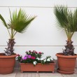 Two decorative palms — Stock Photo #56470517