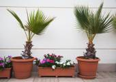 Two decorative palms — Stock Photo