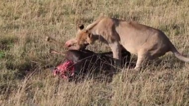 Lioness chewing on foot killed antelope. — Stock Video
