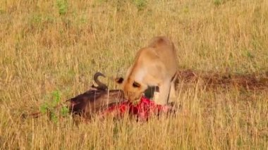 Lion eating a dead wildebeest. — Stock Video