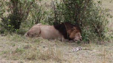 Lion sleeps in the shade of a tree — Stock Video