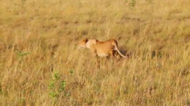 Lioness sneaks into the tall grass to the wildebeests. — Stock Video