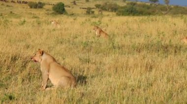 Four lionesses are preparing for an attack on the wildebeest — Stock Video
