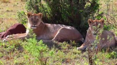 Two lionesses sitting in the shade of the trees after the hunt. — Stock Video