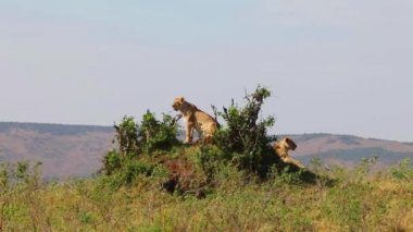 Two lionesses sitting on the hill. They inspect the area. — Stock Video