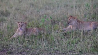 Two lionesses sitting in the grass. Evening. — Stock Video